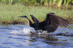 African Dater taking off from pond after fishing stock photo