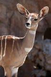 African Deer. This female deer is looking for food Stock Images