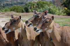 African Deer. Three african deers looking at same direction Stock Photography