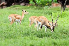 African deer family in the field. African deer family eating in the field Stock Photos