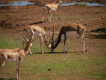 African deer fight. 2 African deer fight in tropical wild life zoo Royalty Free Stock Images