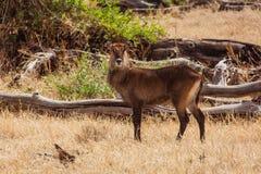 African deer. Photo taken during the safari in NgoroNgoro area. Tanzania stock photo