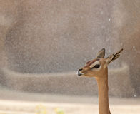 African Deer Profile on Sand Background. Profile of a delicate beautiful African Deer with sandstone background Royalty Free Stock Image