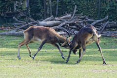 African deers while fighting. Impala African deers while fighting Stock Image