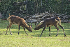 African deers while fighting. Impala African deers while fighting Royalty Free Stock Photography