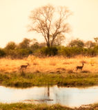 African delta with impalas Royalty Free Stock Images