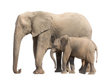 African desert Elephant Family Cow and Younger isolated on white