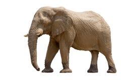 African desert Elephant isolated on white background Royalty Free Stock Photos