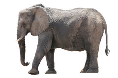 African desert Elephant isolated on white background. Seen and shot in namibia, africa Stock Photos