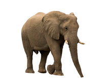 African desert Elephant isolated on white background. Seen and shot in namibia, africa Stock Photo
