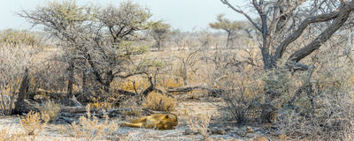 African desert landsape with a sleeping lioness Royalty Free Stock Photo