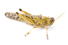 African Desert Locust Stock Photos