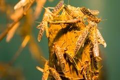 African desert locust Royalty Free Stock Images