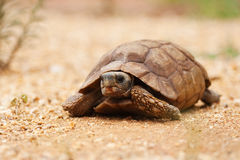 African desert tortoise Stock Photos