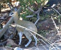 African Dik Dik. Resting in shade at madikwe game reserve Stock Image