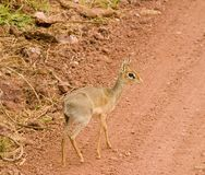 African Dik Dik tiny antelope. The Dik Dik is a tiny antelope found in the serengetti preserve in Africa. It is about 15 inches high. It appears to not be afraid royalty free stock photography