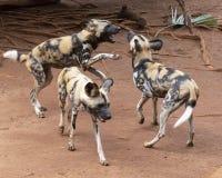 African Dog Test stock photos