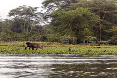 African donkey grazing. On the shore of the lake with lake on the African Savannah of Kenya on a cloudy day royalty free stock photo