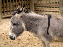 African Donkey profile. African donkey in the stable of a farm Royalty Free Stock Images