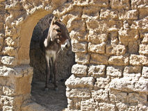 African donkey in the stable. Royalty Free Stock Photography