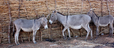African donkeys. In the village Royalty Free Stock Photo