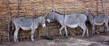 African donkeys Royalty Free Stock Photo