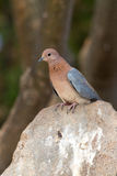 African dove Stock Images