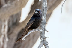 African drongo, Dicrurus adsimilis. Sitting on a dry tree Stock Image