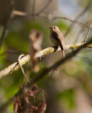 The African Dusky Flycatcher. (Muscicapa adusta) is one of the smallest flycatchers in Africa stock image