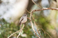Dusky Flycatcher Stock Photos