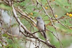 African Dusky Flycatcher. Curious African Dusky Flycatcher looking Royalty Free Stock Photo