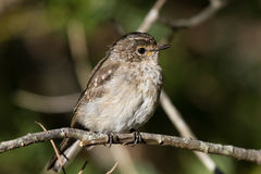 African dusky flycatcher, Muscicapa adusta Stock Images