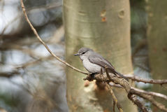 African Dusky Flycatcher. On a branch Royalty Free Stock Images