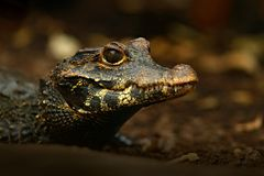African dwarf crocodile, broad-snouted bony crocodile, Osteolaemus tetraspis, detail portrait in nature habitat. Lizard with big e royalty free stock image