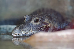 African dwarf crocodile Stock Photo