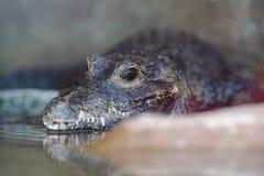 African dwarf crocodile stock photo