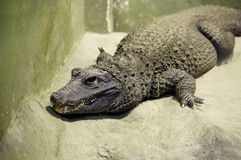 African dwarf crocodile Stock Images