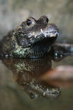 African Dwarf Crocodile Royalty Free Stock Image