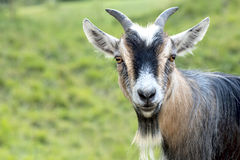 African dwarf goat looking. Into the camera Royalty Free Stock Photography