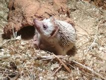A little african hedgehog woke up royalty free stock photography