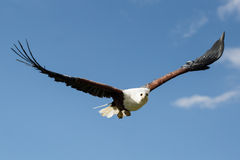 African Eagle against blue sky. A majestic and beautiful African Eagle flying against a blue sky Royalty Free Stock Image