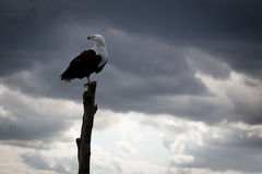 African Eagle against Clouds. A majestic and beautiful African Eagle, keeping an eye out for her dinner Royalty Free Stock Photo