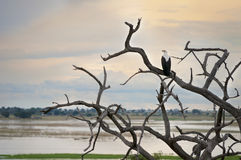 African eagle contemplating the sunset. African eagle perched on the branches contemplating the sunset on the lake savannah Royalty Free Stock Photos