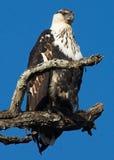 african eagle fish Στοκ εικόνες με δικαίωμα ελεύθερης χρήσης