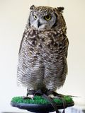 African eagle owl sitting on perch stock photo