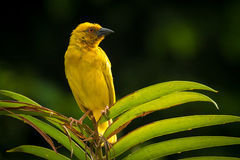 African Eastern Golden Weaver perched on a palm leaf. Royalty Free Stock Image