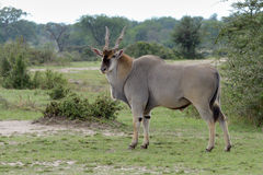 African Eland. Portrait of a East African Eland Royalty Free Stock Photography