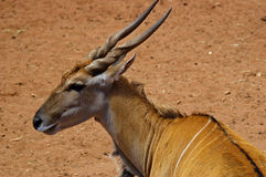 African Eland. An African Eland at monarto zoo royalty free stock photo
