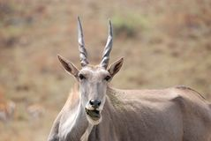 African Eland Antelope Stock Photos
