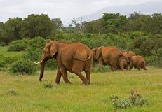 African elefant. Big wild mammal Royalty Free Stock Photo